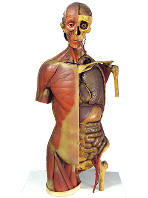 『女性の頭部、胴体の解剖模型』